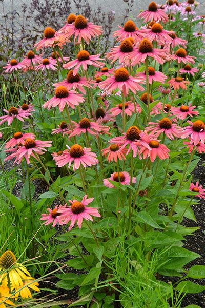 Echinacea Mama Mia A Wonderful New Coneflower With Big Red Daisy Like Flowerheads That Turn A Rich Apricot Pink As The Echinacea Plants Garden Inspiration