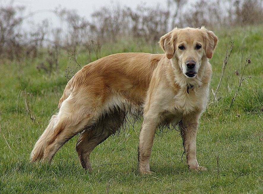 Long Haired Golden Labrador Golden Retriever Doggy