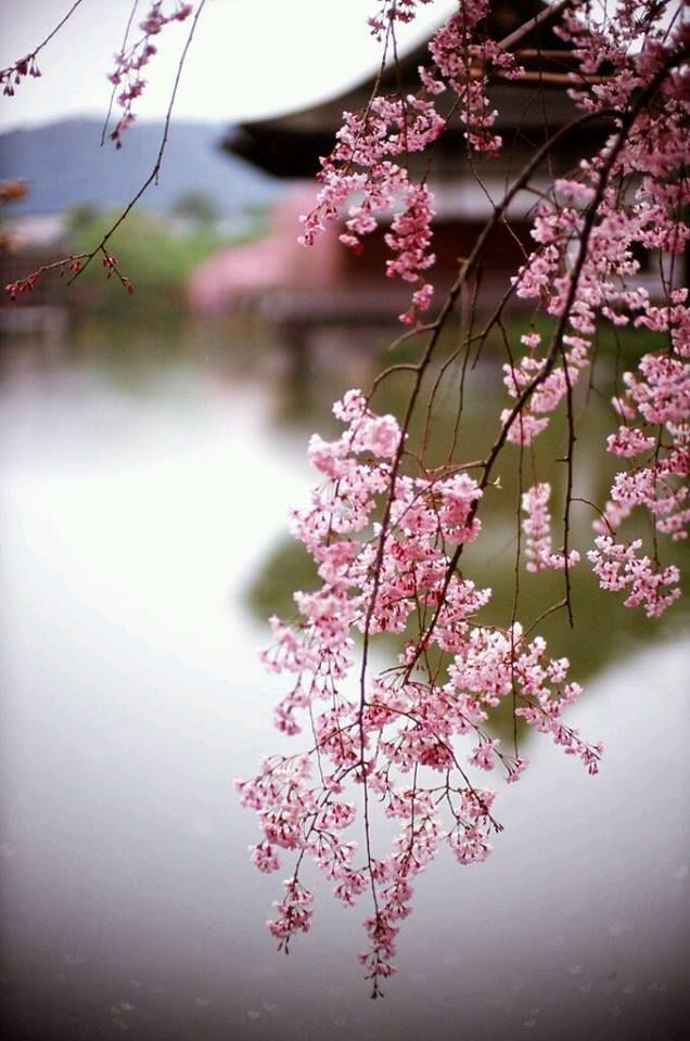 Cherry Blossom Photography The Most Beautiful And Romantic Japanese Cherry Blossom Tree Photos To See Blossom Beautiful Flowers Cherry Blossom