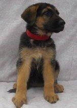 Central Florida German Shepherds For Sale Buy A Puppy German Shepherd For Sale German Shepherd German Shepherd Puppies