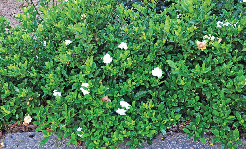 Pin By Desert Group On Gardenia Jasminoides Moon Garden