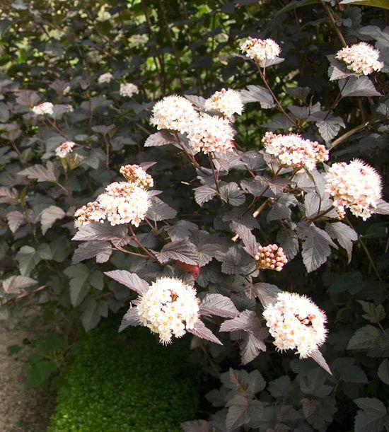 ninebark trees shrubs flowering