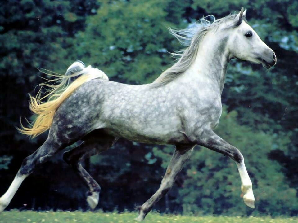 Silver Dapple Quarter Horse Stallion