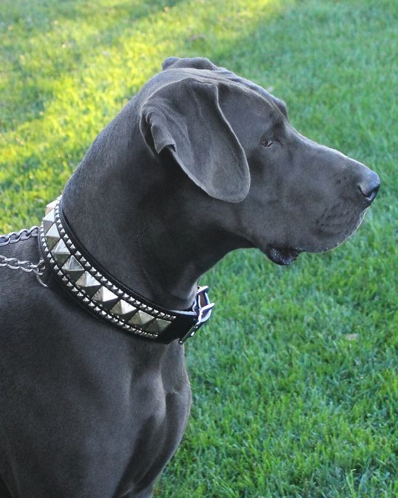 We Make Big Collars For Big Dogs Bunker The Great Dane In His