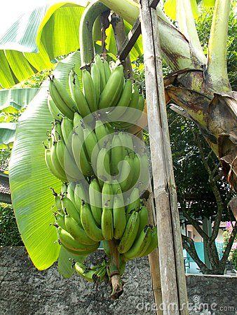 Bunch Of Banana On The Tree Old And Green Banana Tree Green Banana
