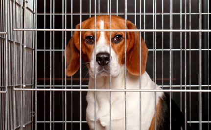 Here We Go Again Company Restarts Plans To Breed Beagles For
