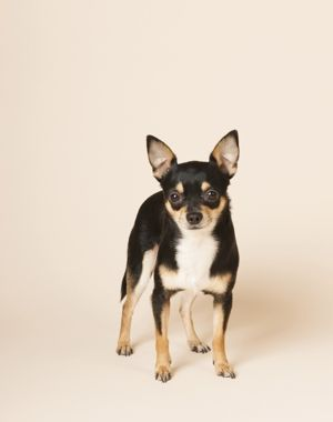 Information About The Chihuahua Toy Fox Terrier Mix Taco Terrier
