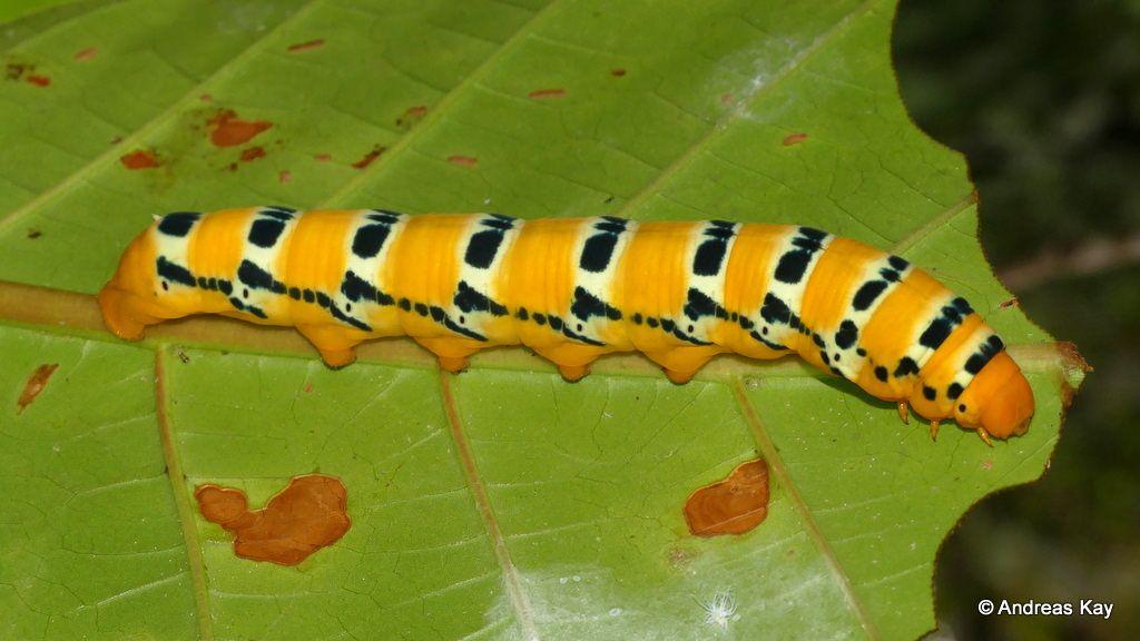 Handsome Caterpillar Oryba Kadeni Sphingidae Last Instar