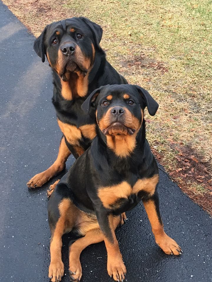 Such a lovely Rottweiler couple! Rottweiler dog, Dogs