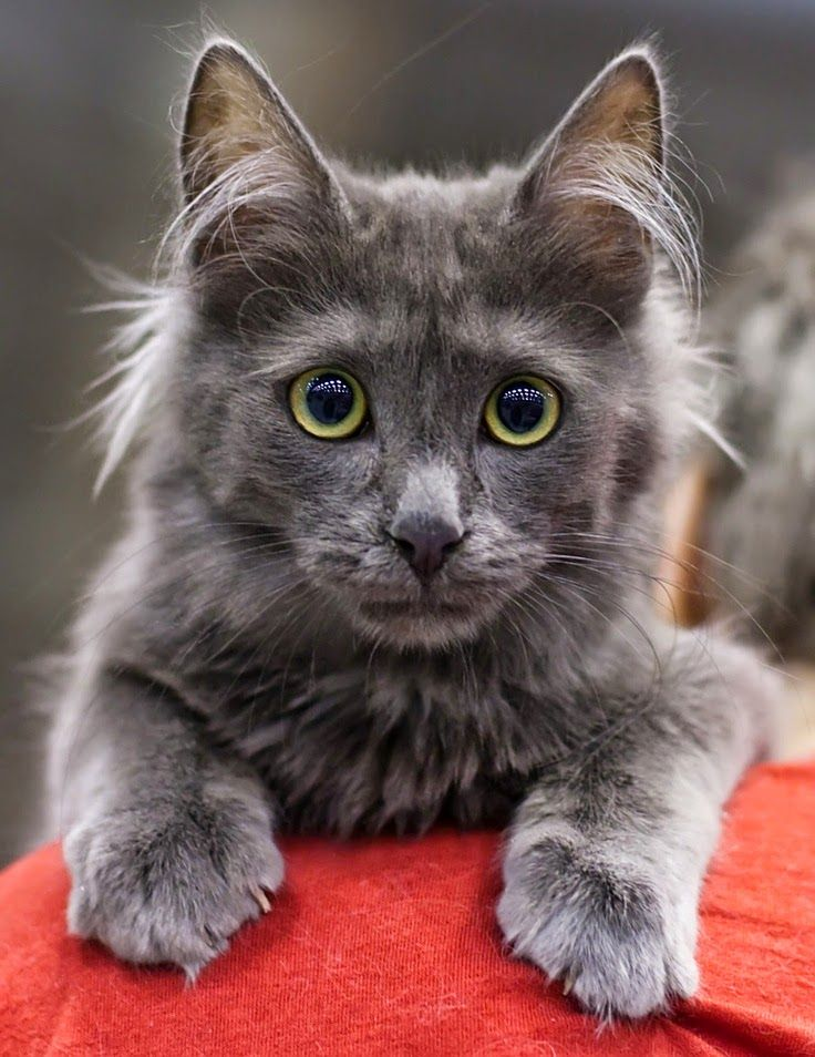 Turkish Angora cats are considered as one of the most