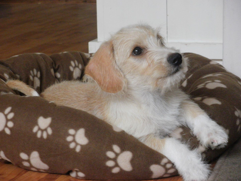 Charlie A Maltese X Dachshund Mix Maltese Poodle Mix Poodle Mix