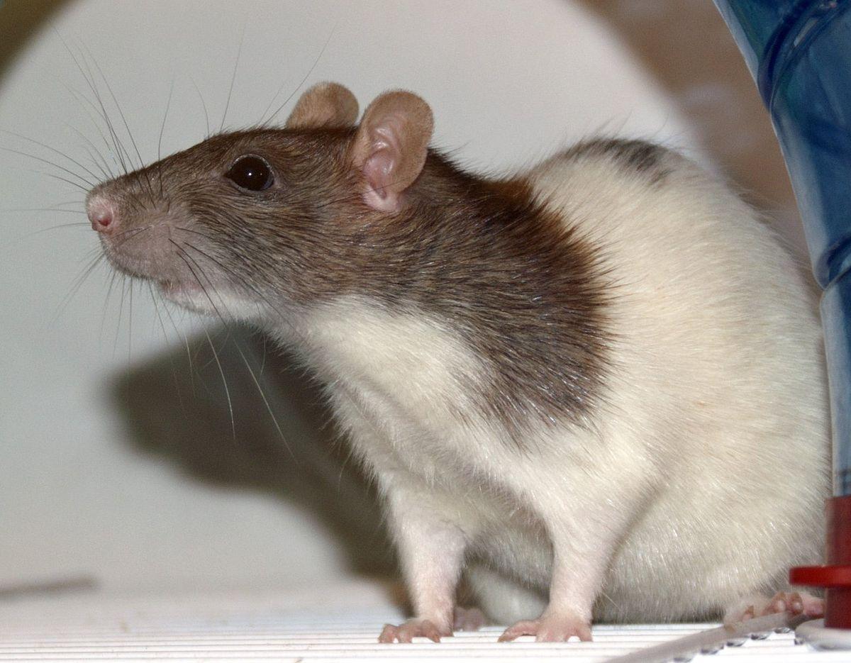 Fancy rat Wikipedia Pet rats, Cute rats, Animals