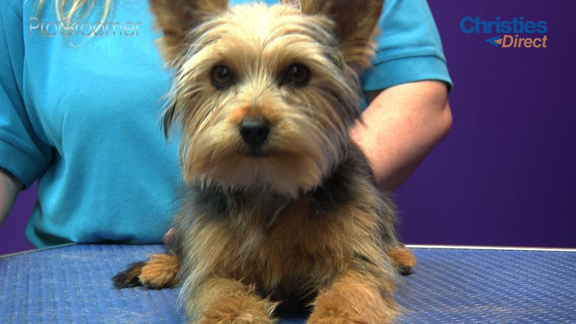 Watch The Latest Progroomer Grooming Guide Sponsored By Christies Direct Where Kelly Murfet Of Doggie D Yorkshire Terrier Puppies Yorkshire Terrier Yorkie Dogs