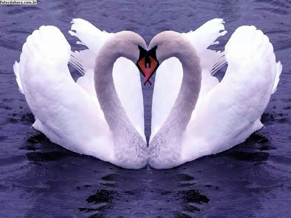 Heart Nature Natureheart Love Lovebirds Valentines Swan Swan Love Heart In Nature Cute Animals