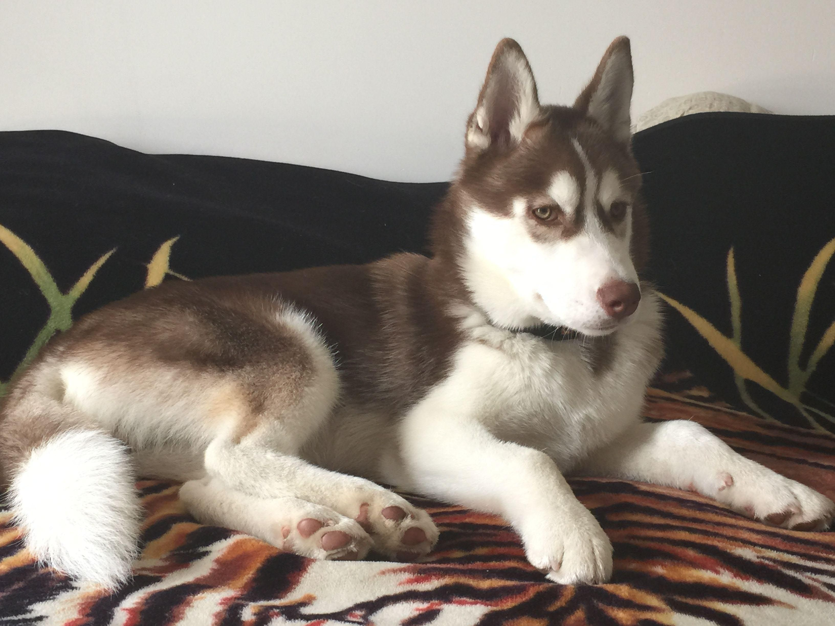 5 Month Old Siberian Husky Puppy Dog Breed Information