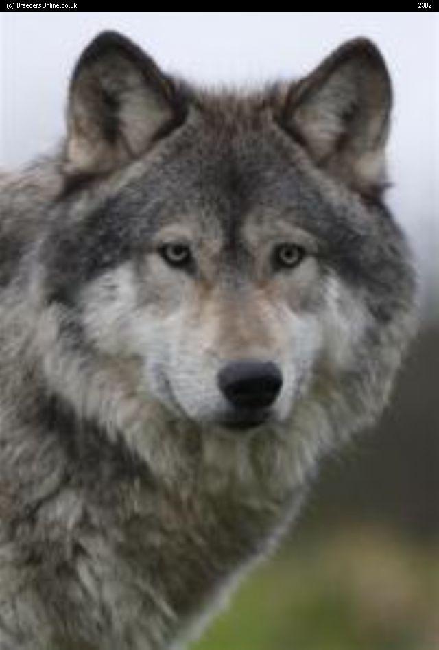 Wolf German Shepherd Wolf Dog Wolf Hybrid Dog Breeder