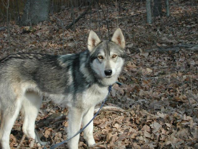 Malamute Husky Mix For Sale Wolf Malamute Mix Content Wolf
