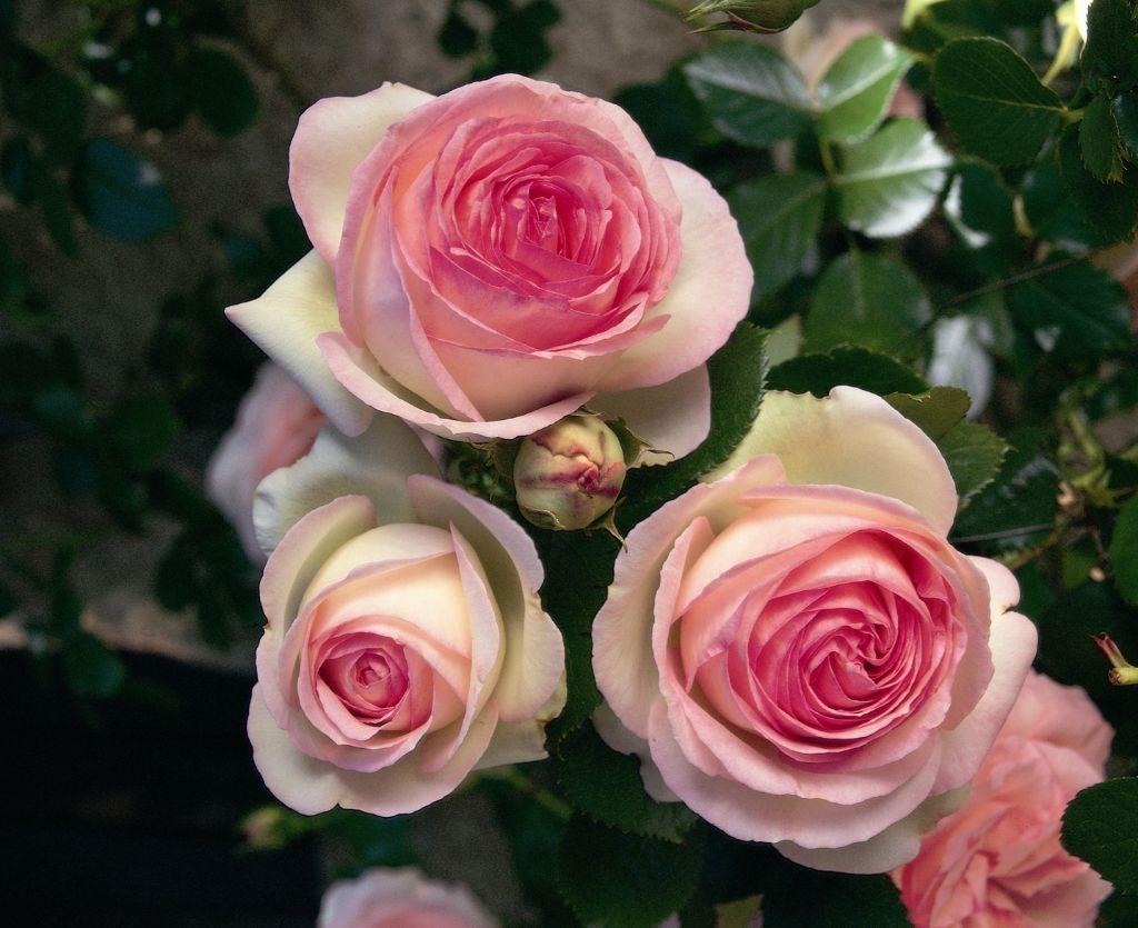 Rose Pierre De Ronsard Google Search Eden Rose Rose