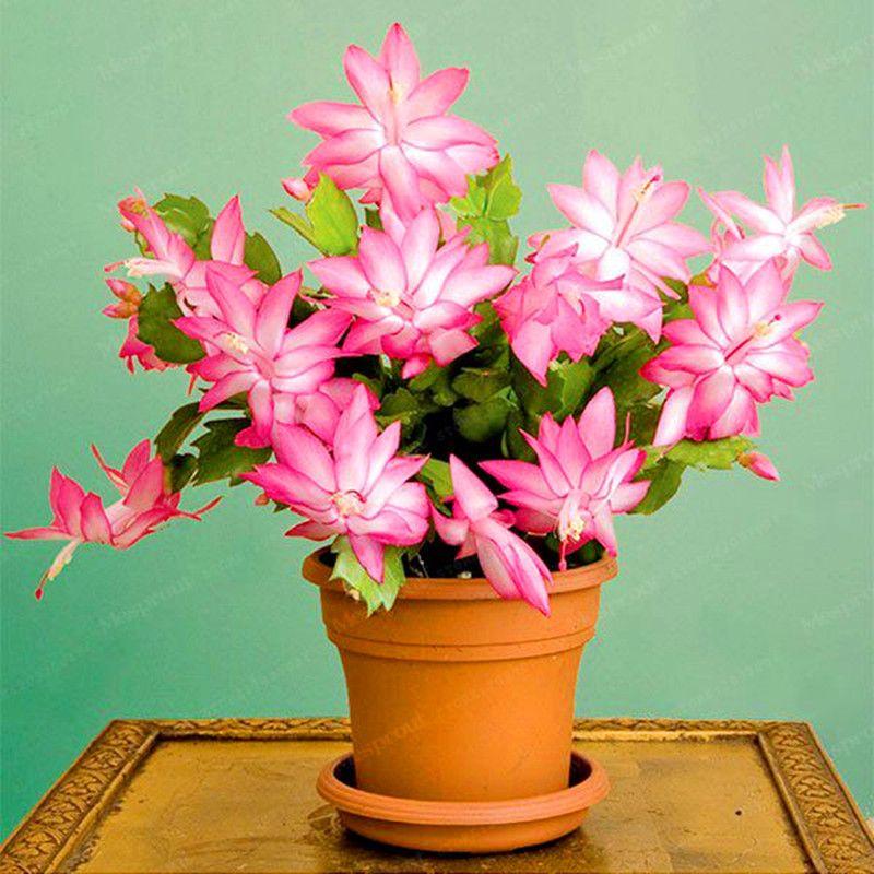 10pcs Zygocactus Truncatus Flower Seeds Schlumbergera