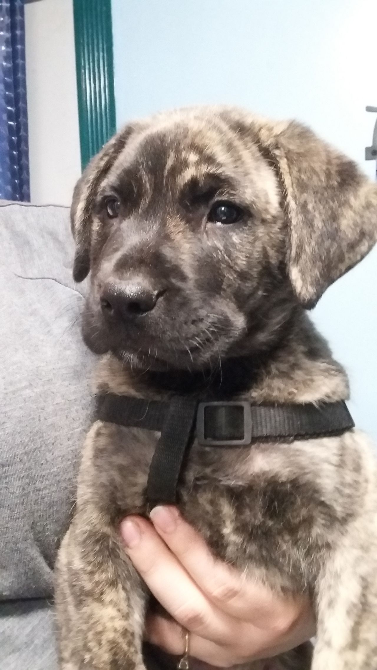 Gorgeous Presa Canario Canary Mastiff Puppies For Sale Click The Link Below To Connect Directly With Mastiff Puppies For Sale Presa Canario Mastiff Puppies