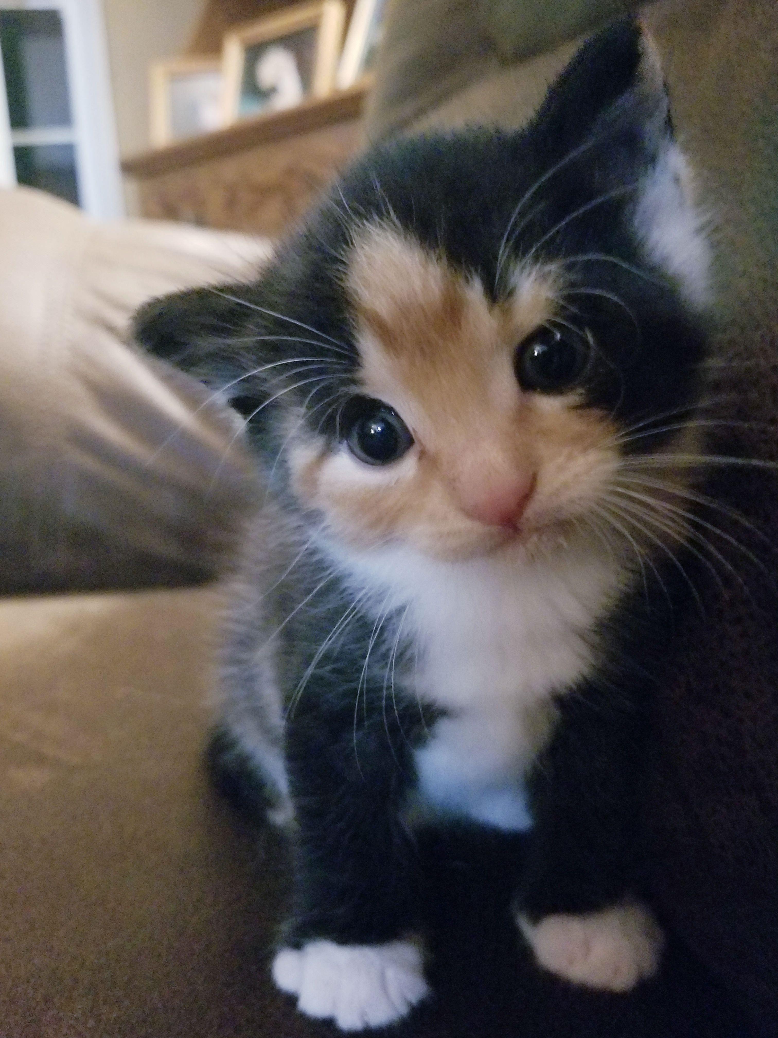 Moxi Tried Kitten Food Today Not A Huge Fan Fluffy Kittens Calico Kitten Beautiful Cats