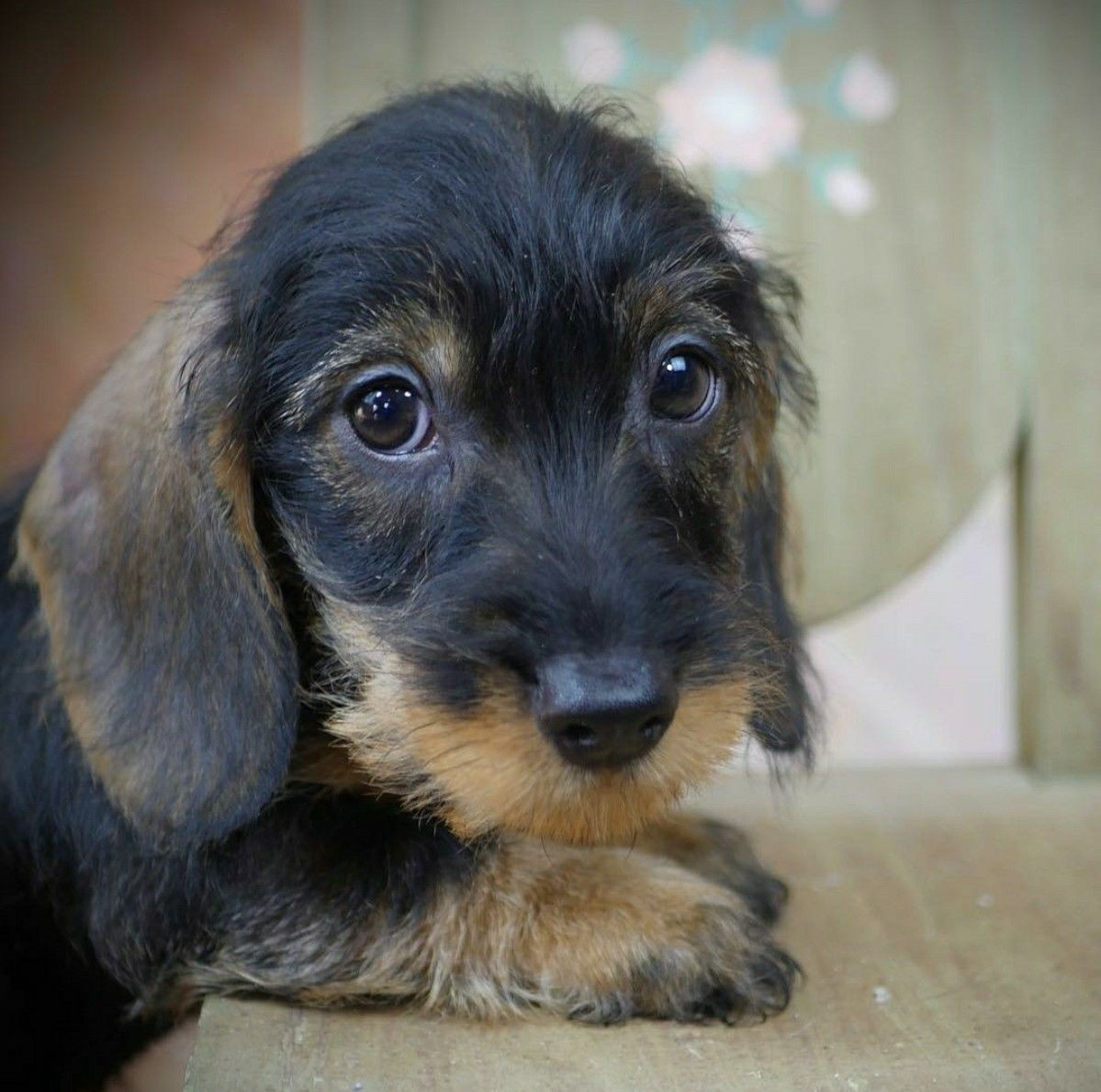 Dachshund Wirehaired Puppy Cute Dog Pictures Dog Pictures