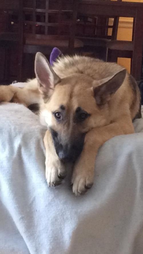 Adopt Esmae Cl On Dogs German Shepherd Rescue German Shepherd