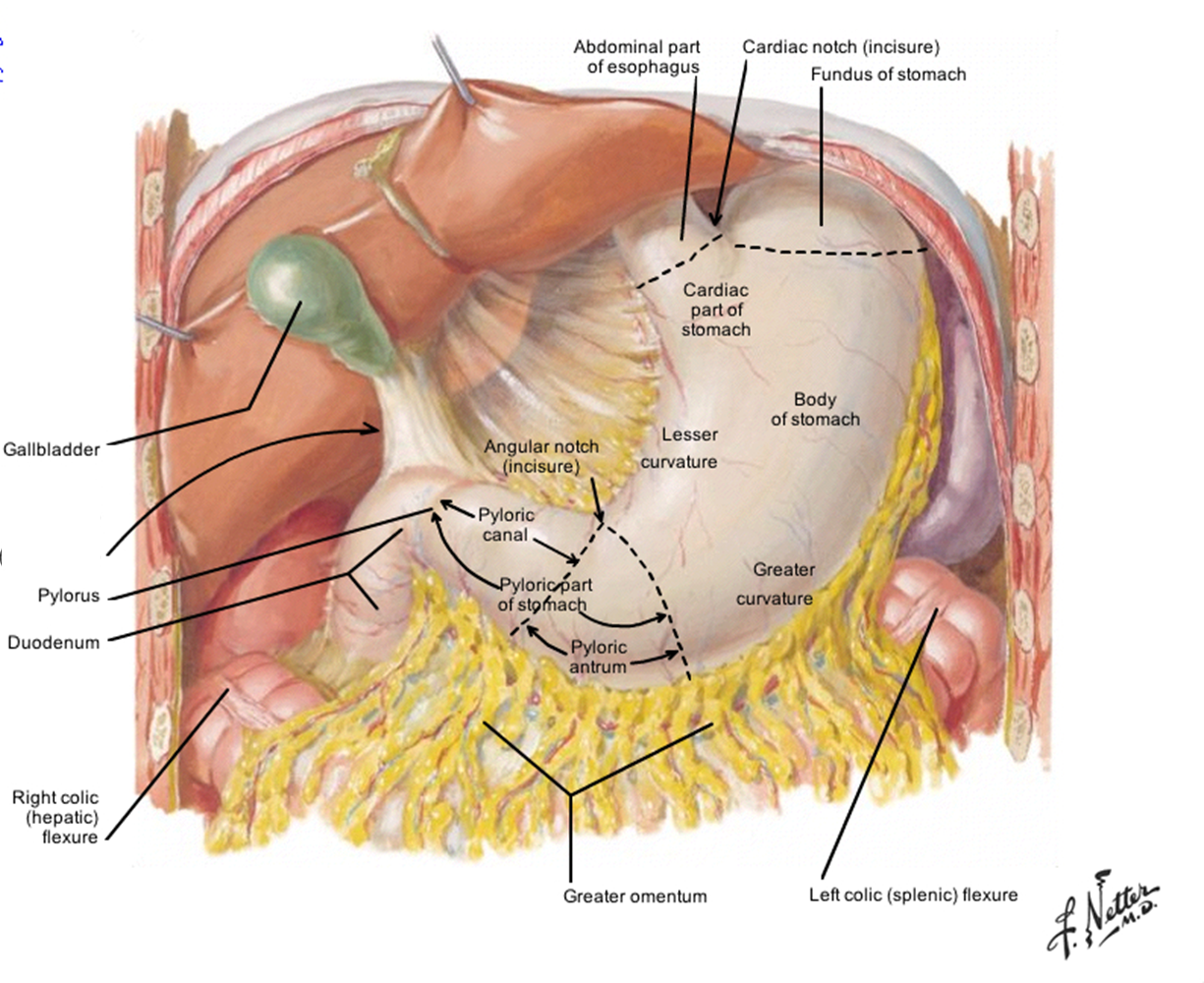 stomach anatomy - google search | nurse stuff | pinterest | search, Human Body