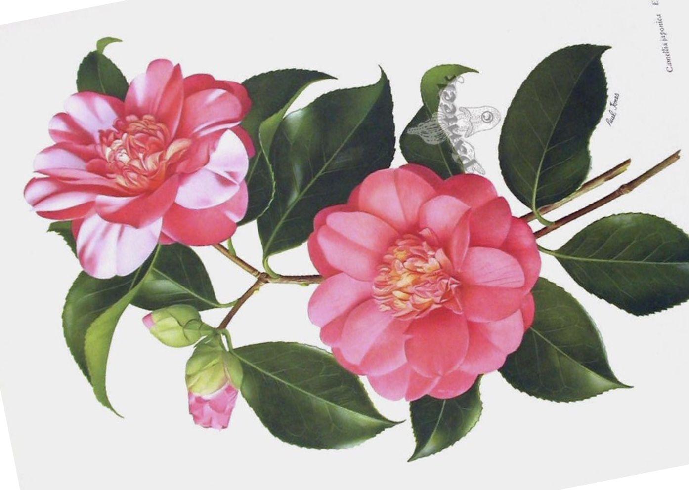 Camellia Tattoo Idea Botanical Illustration Vintage Tattoo Drawings Botanical Illustration