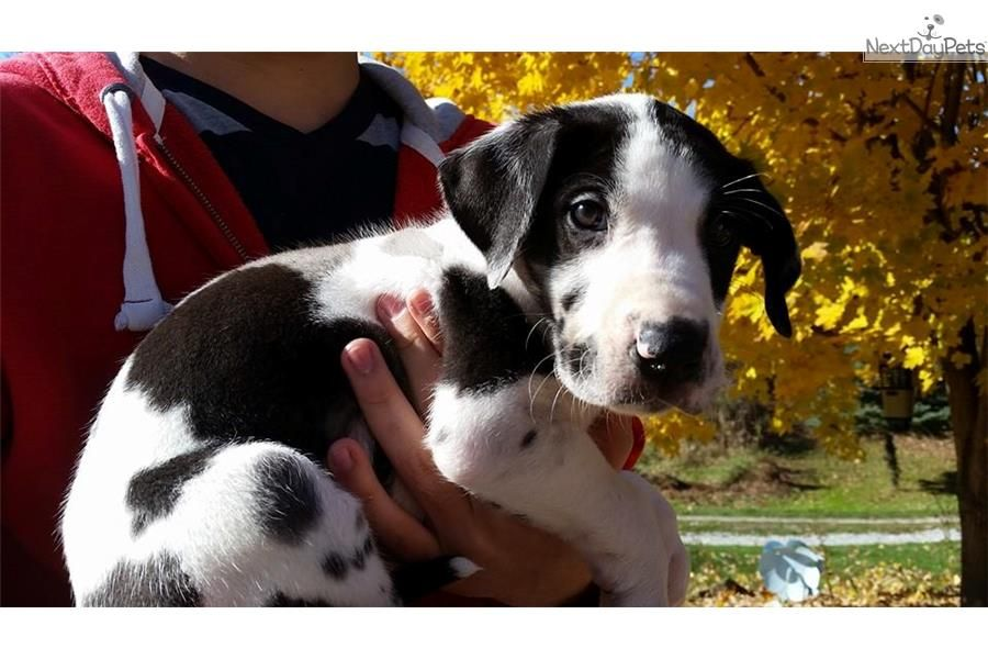 Male 6 Great Dane Puppy For Sale Near Tuscarawas Co Ohio 527c58f5 D321 Puppies I Have Want Dane Puppies Great Dane Puppy Puppies