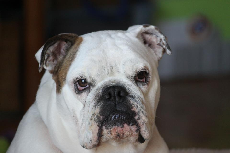 Chicago Illinois Usa Bulldog Rescue French Bulldog Chicago