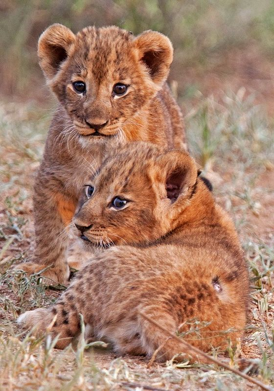 Lion cubs, Tarangire National Park