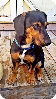 Pictures Of Bruno A Beagle Black And Tan Coonhound Mix For