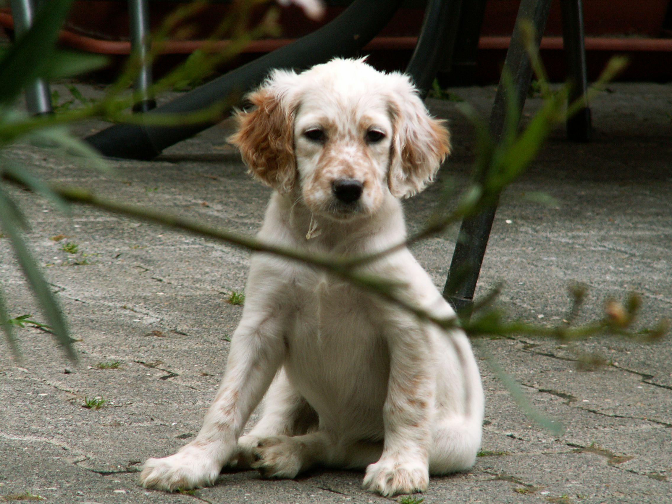 5c6501dca13 english setter puppy - Google Search