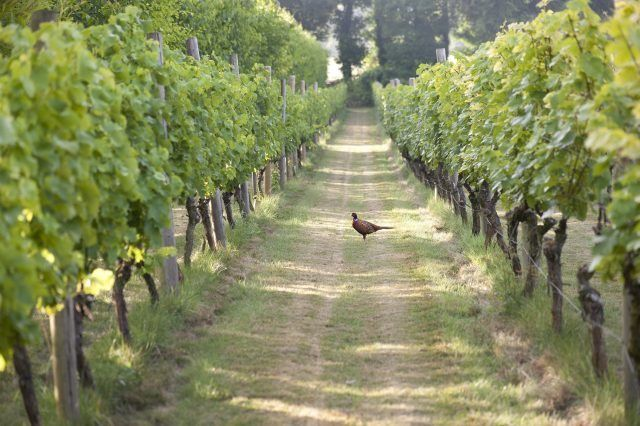 UK to plant one million vines in 2017  https://www.thedrinksbusiness.com/2017/04/uk-to-plant-one-million-vines-in-2017/