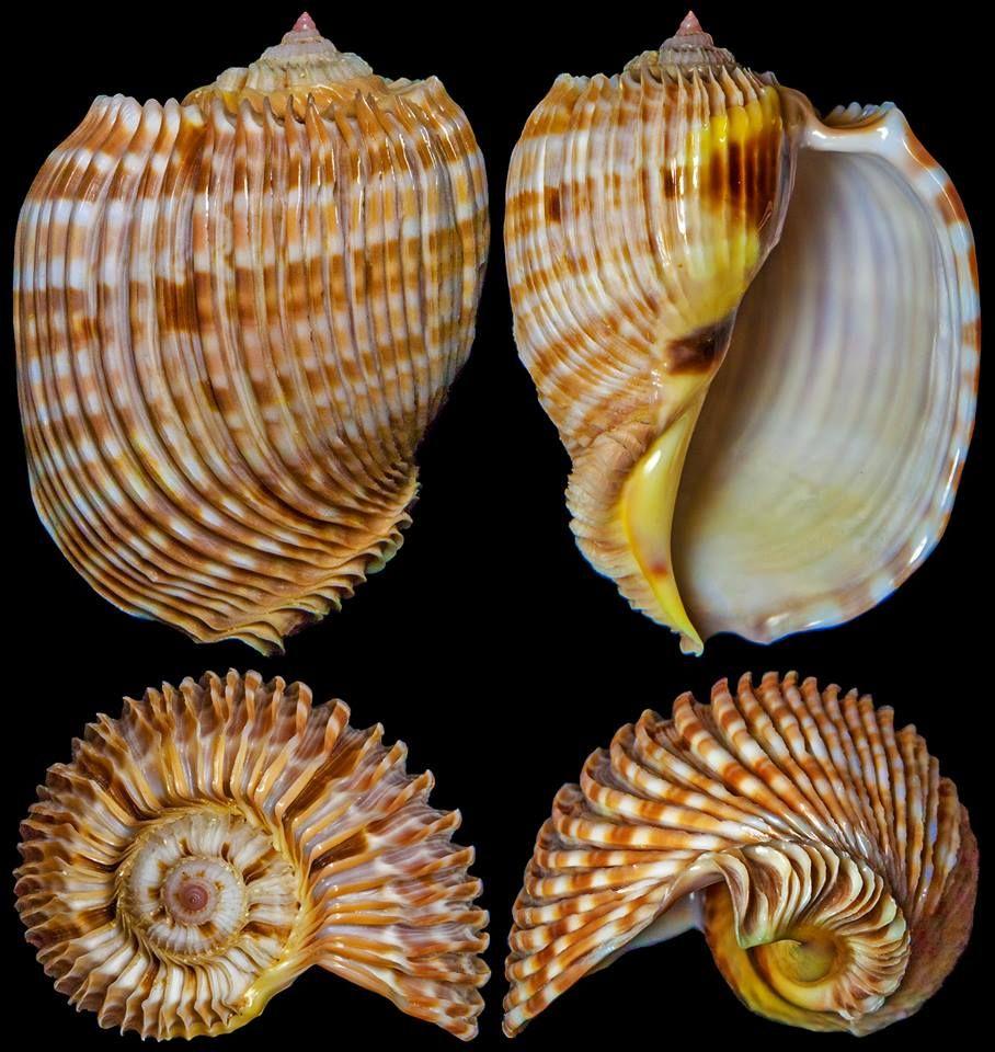картинки брюхоногих и двустворчатых моллюсков половина