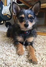 yorkie mixed puppies for sale mn chihuahua mix dog for adoption in maple grove mn usa 5332