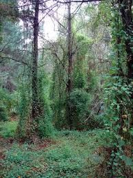 This shows how the invasive species (the vines) have overcome the trees and are killing them off