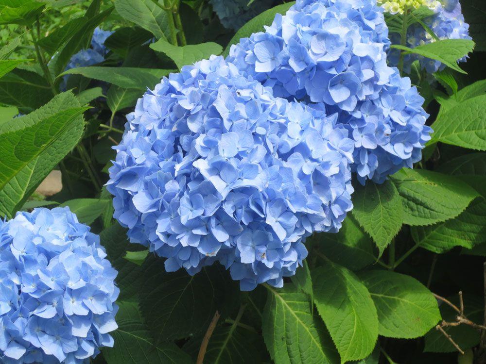 names of blue flowers list Blue flower names, List of
