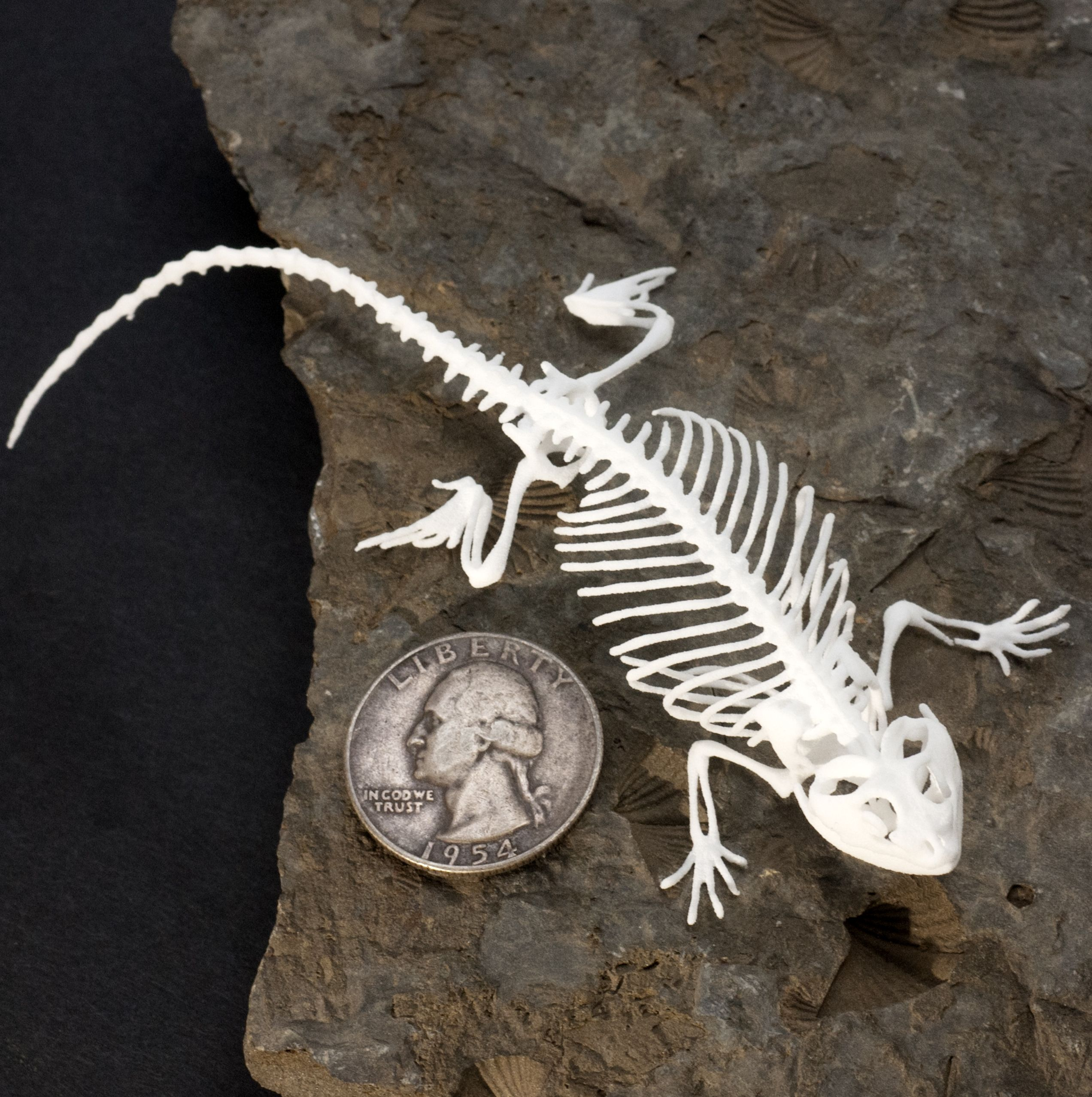 Bearded dragon lizard skeleton printed in white plastic. Available ...