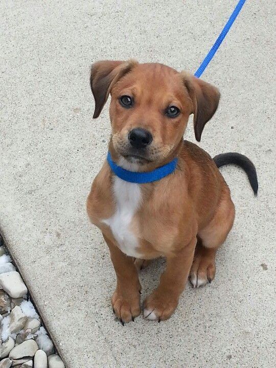 A Lab Boxer Begal Pitbull Mix Beagle Mix Puppies Pitbull Mix