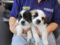 Puppy Shack Puppies For Sale Brisbane Queensland Bichon
