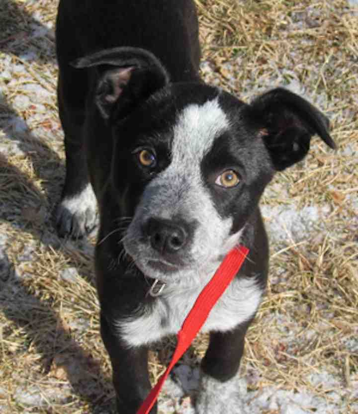 New Hope Cattle Dogs Rescue Rehoming Of Colorado Has A List Of