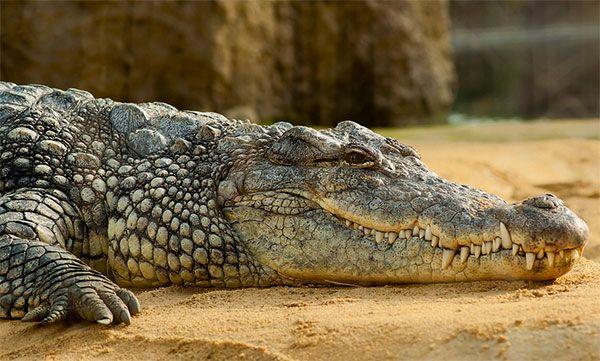 Top10 Animais Matadores De Gente Crocodilo Do Nilo Crocodilos E