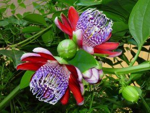 Wingstem Fragrant Granadilla Passion Flower Passiflora Alata 5 Seeds Flor De La Pasion Flores Plantas