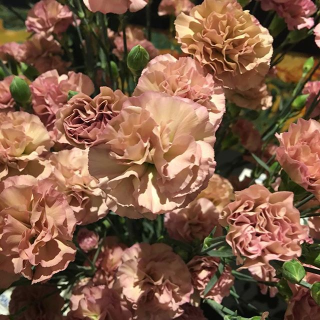 Carnation Breeders Are Coming Out With Some Unique Colors Check Out Mocha Sweet A Light Pink With Beige Colo Flower Aesthetic Flower Farmer Carnation Flower