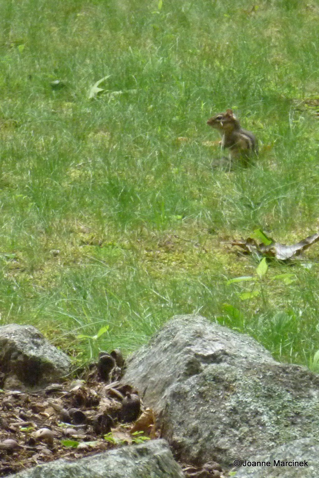 How to get rid of chipmunks in my garden get rid of