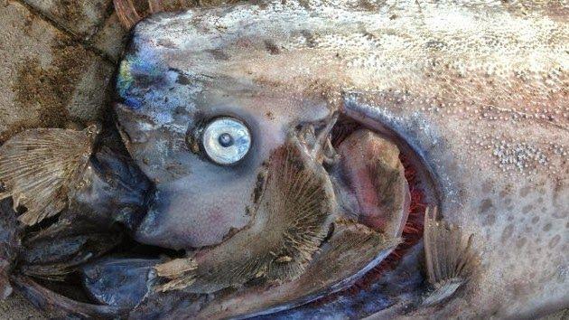 Disso Voce Sabia?: Outro Peixe Remo Gigante Aparece na Califórnia