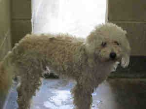Cosmo Is An Adoptable Standard Poodle Dog In Los Angeles Ca
