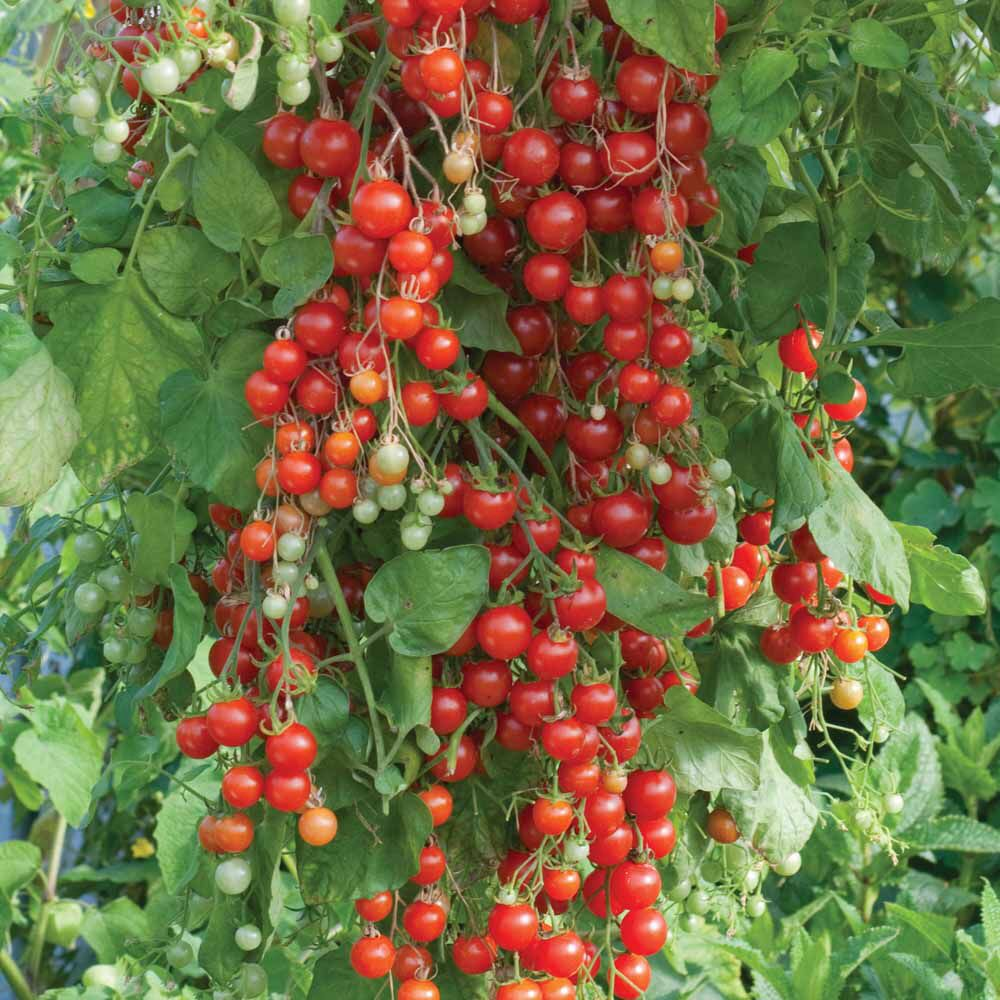 Sweet Million Cherry Tomato Super Sweet 100 50 25 Seeds Tomato Garden Tomato Seeds Growing Tomatoes In Containers